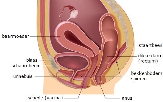 anatomie baarmoeder